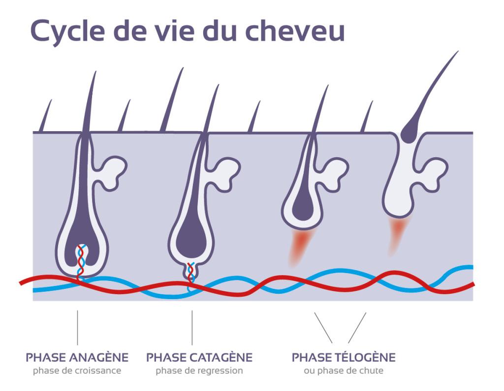 Comprendre le cycle de vie du cheveu et les spécificités du cheveu 4C afro crépu